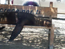 Cute Sea Lion Lying On A Woode...