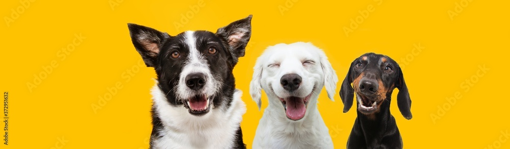 Fototapeta banner three happy puppy dogs smiling on isolated yellow background.