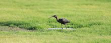 Black Heron On Green Grass