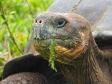 Closeup Shot Of A Tortoise Eating Grass