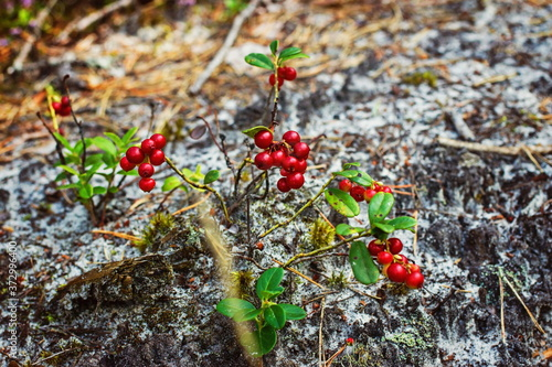 Natural forest berry cranberries in nature Fototapete