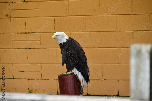 bald eagle in the zoo Fototapet