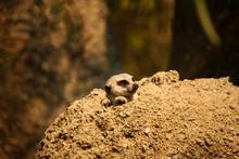 Meerkat Peeking Out Of His Den...