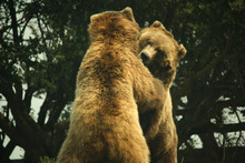 Two Grizzly Bears Playing And Hugging