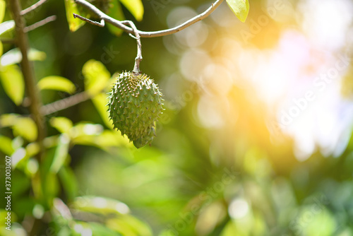 Fotografiet Soursop fruit on the tree, selective focus, with sunlight.