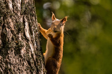 Selective Focus Shut Of A Fox Squirrel Climbing The Tree