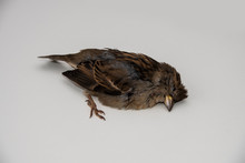 A Dead Sparrow Lies On The Side Of The Road Against A Background Of Grass. The Bird Died From The Disease.