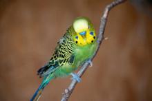 Closeup Shot Of A Green Budgie...