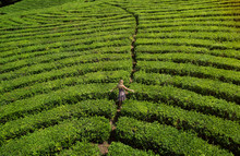 Woman At Tea Plantation, South...