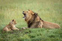 Male Lion Father With His Mouth Open And His Two Cubs Playing In Green Grass In Serengeti In Tanzania