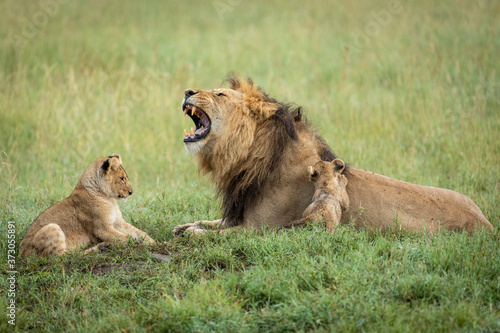 Papel de parede Male lion father with his mouth open and his two cubs playing in green grass in