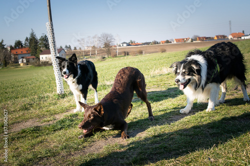 Fotografia Crazy group of border collies are plying together with ball