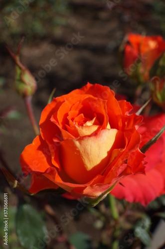 Orange Flower of Rose 'Esther Ofarim' in Full Bloom Wallpaper Mural