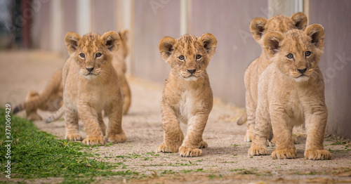 lion cub and lioness Canvas Print