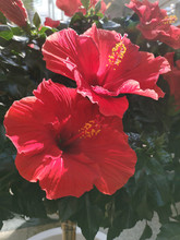 Vertical Shot Of Two Red Hibiscus Flowers On Full Bloom