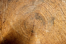 Closeup Shot Of The Textures Of A Freshly Sawed Trunk Of A Tree