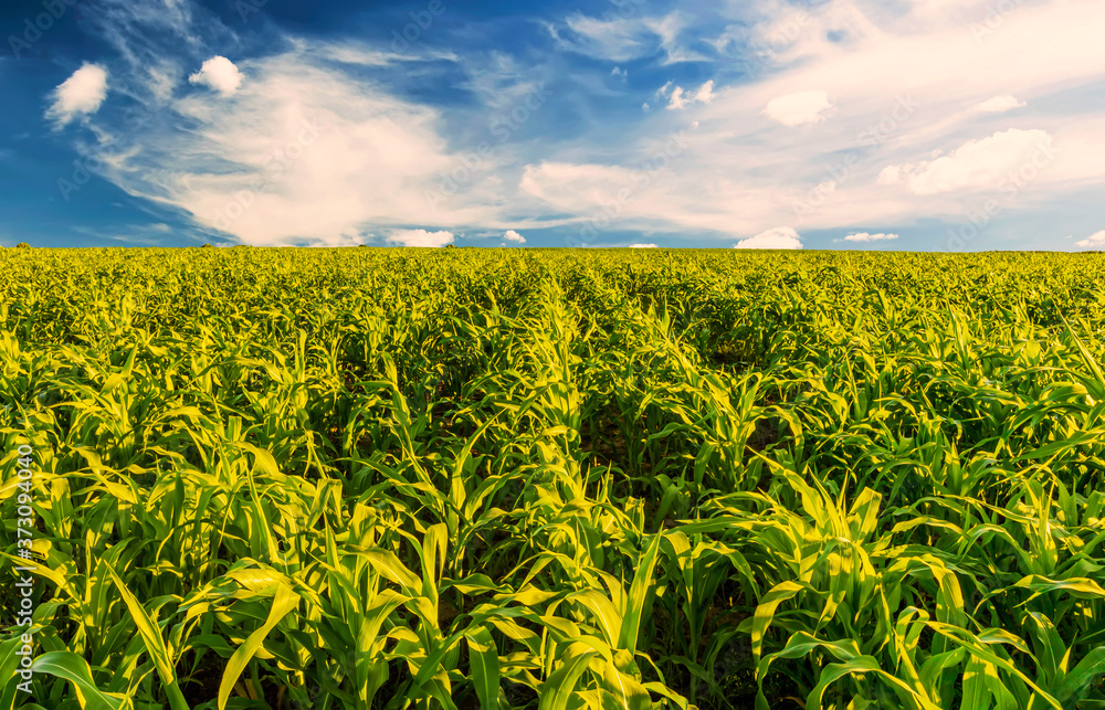 Fototapeta Scenic view at beautiful summer day in a corn shiny field with young green corn, deep blue cloudy sky and rows leading far away, valley landscape