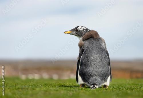 Vászonkép Close up of a molting Gentoo penguin chick
