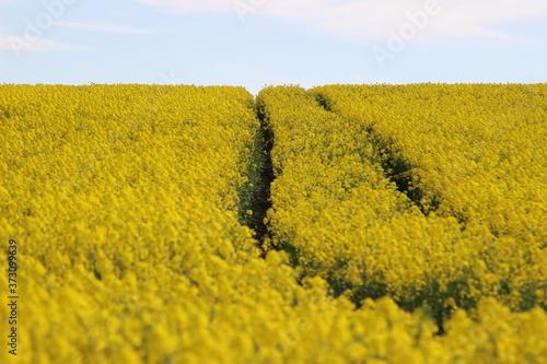 Fototapeta Droga przez pole kwitnącego żółtego rzepaku obraz
