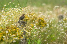 A Young Blackbird Sitting On Wooden Pole In A Meadow Surrounded With White And Yellow Camomile Flowers And Green Grass. Summer Day In A Countryside.