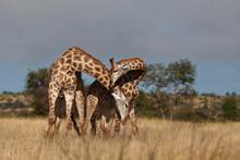Giraffe Bulls Fighting With Their Necks
