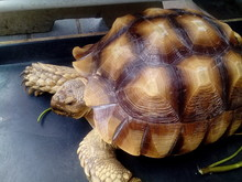 Sulcata Tortoise Is A Species ...