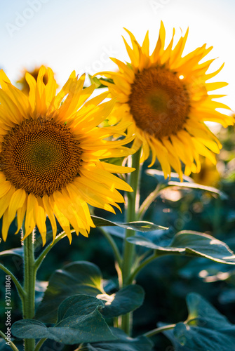 Fototapety, obrazy: bright colorful sunflower in summer. summer blooming sunflowers in the field