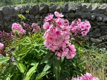 Soft Pink Flowers, With Broad Green Leaves, And Long Grasses, Set Against A Dry Stone Wall, On A Late Summers Day In, Leyburn, Yorkshire, UK