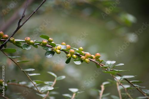 Fototapeta premium Irga - krzew o małych listkach i kolorowych owocach