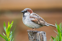 Male House Sparrow (Passer Dom...