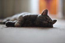 Cute Grey Cat Lying Down On Th...