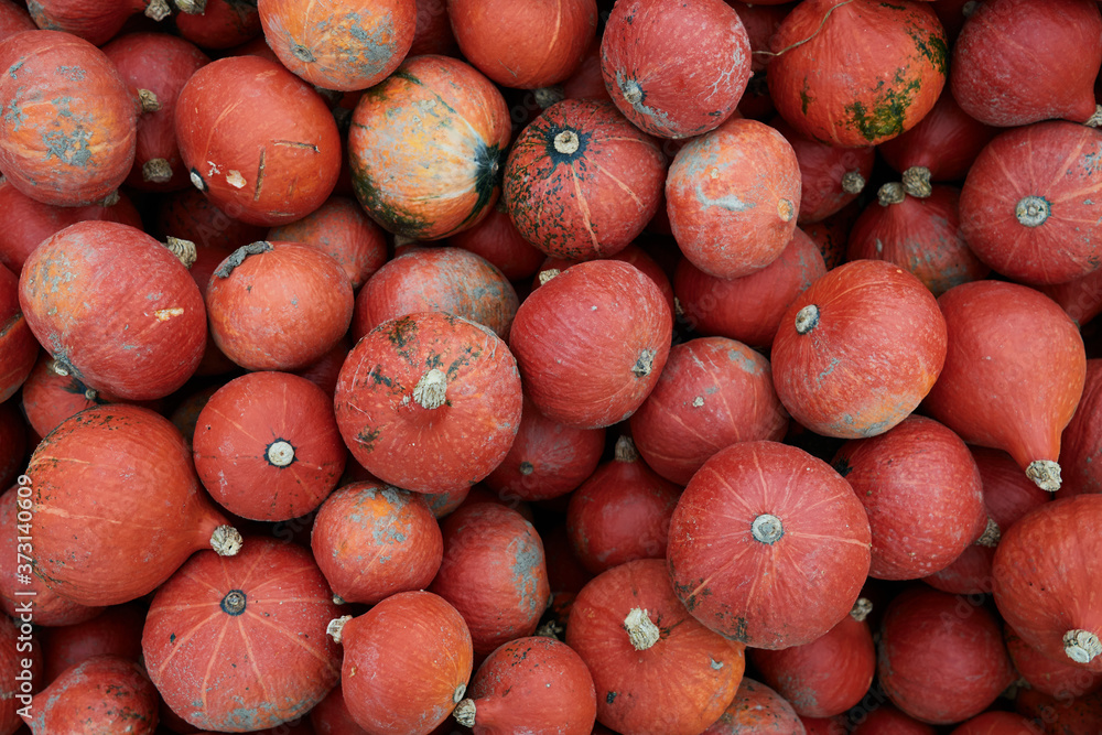 Fototapeta Bright dark orange winter squashes or pumpkins freshly harvested