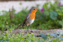 Robin (Erithacus Rubecula) In The Floor Among Grass In A House Garden. Bird With Orange Breast
