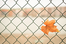 Closeup Shot Of An Autumn Leaf On A Chain-link Fence