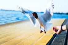 Seagull Feeding On The Beach F...