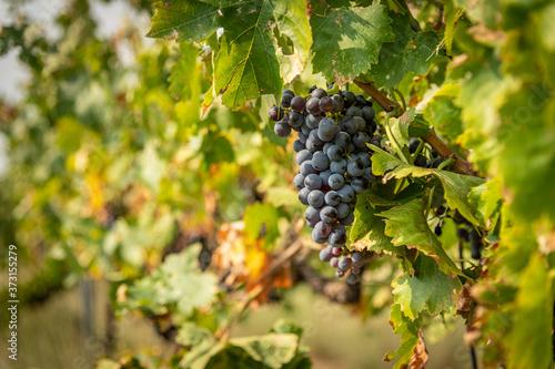 Tablou Canvas Grape Cluster Close Up