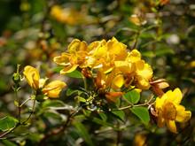 Selective Focus Shot Of Yellow Hypericum Flower Under The Sunlight