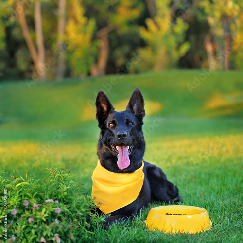 Carta da parati Black german shepherd laying at the lawn