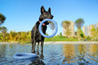 canvas print picture - Black german shepherd playing with the toy in the fountain