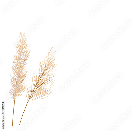 Carta da parati Vector stock illustration of pampas grass