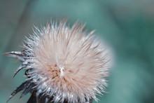 Macro Shot Of A Black Thistle Seedhead