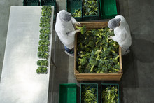 Two Workers Inspecting Fresh Produce At A Production Site
