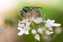 Green Bee On An Oregano Flower