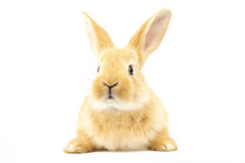 Cute Fluffy Home Ginger Bunny Isolated On White Background. Side View. Nature Concept.