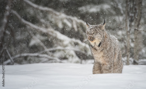 Canadian lynx in the wild Tableau sur Toile