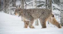 Canadian Lynx In The Wild
