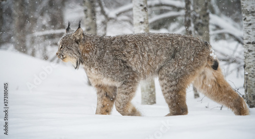 Canadian lynx in the wild Canvas