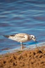 Juvenile Bonaparte's Gull (Larus Philadelphia) Feeding Along Shawano Lake In Wisconsin