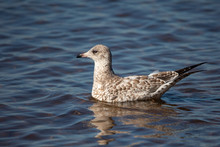 Immature Ring-billed Gull (Larus Delawarensis) Floating On A Shawano Lake In Wisconsin