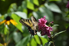 Yellow Butterfly On Pink Flower